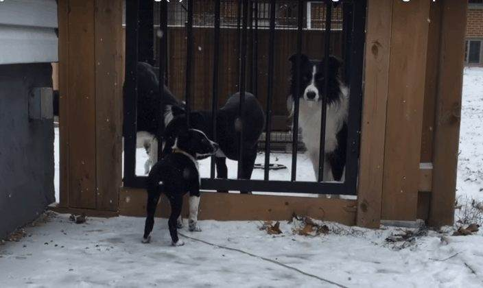 Introducing Puppy to Your Other Dogs