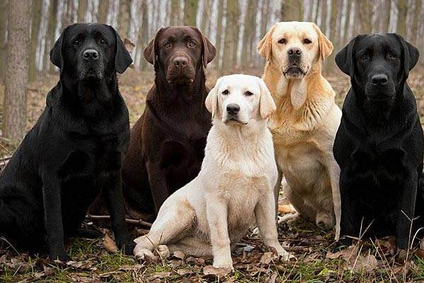 Best-Labrador-retriever-breeder-Color