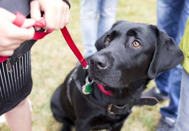 Brain Training Your Labrador