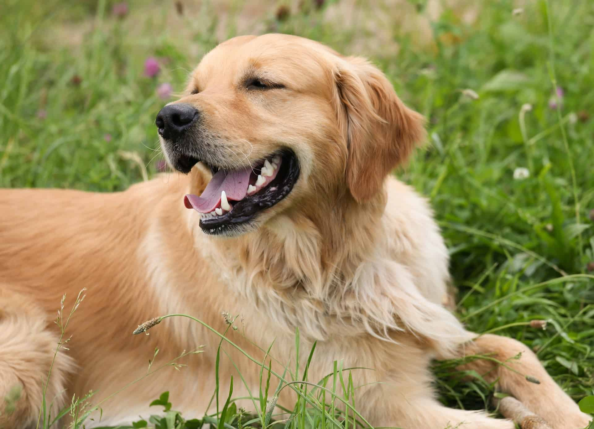 Clean Your Retriever's Ears