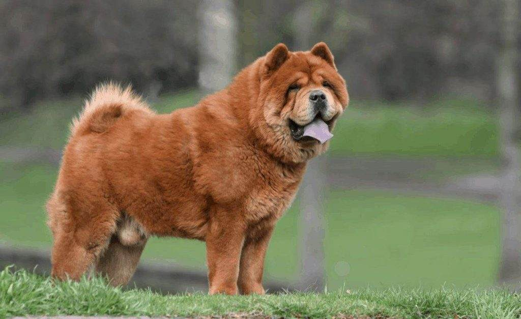 Double Coat chow chow