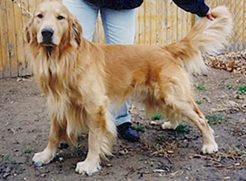 What Causes Hip Dysplasia in Golden Retrievers