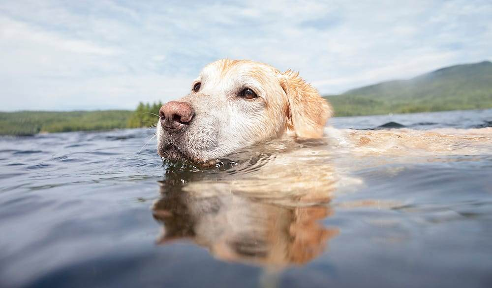 Labrador Retriever Swim