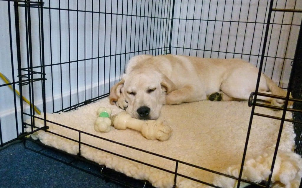 Labrador Retriever crate