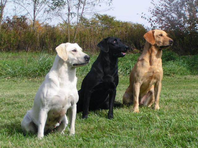 Pros and Cons to Pointing Labradors