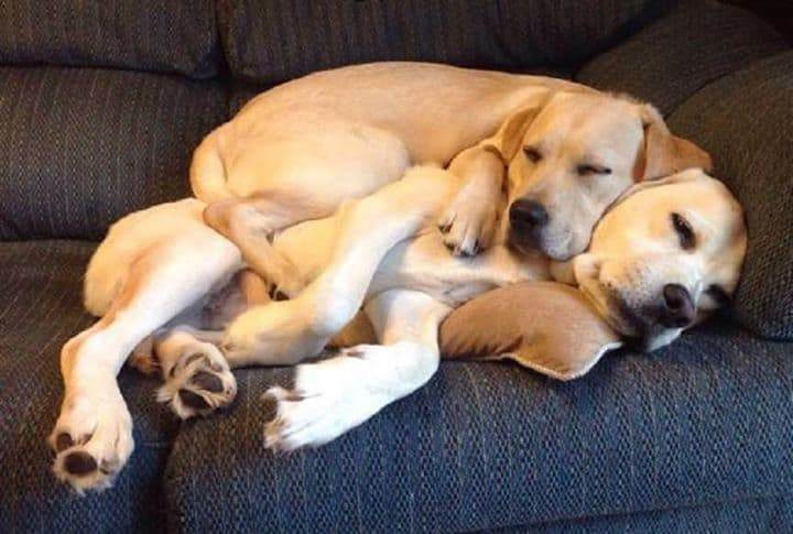 Why do Labradors Like to Cuddle