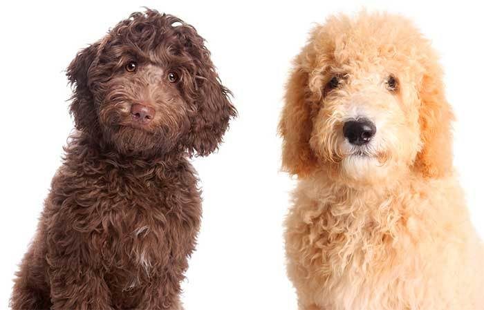 labrasdoodle-and-goldendoodle-compaison